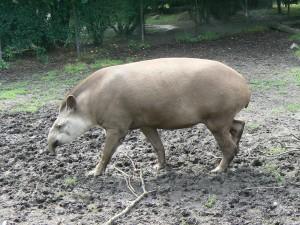 Hamburg_zoo_tapir