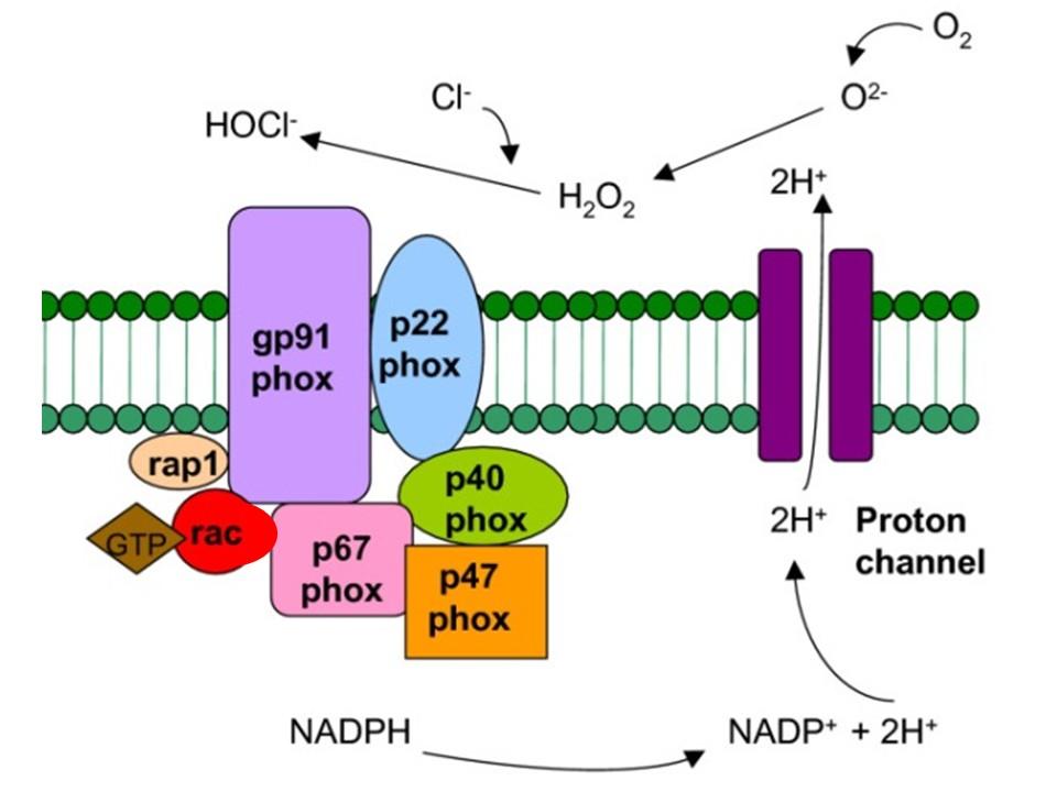 Ligeti lab NADPH oxidaz